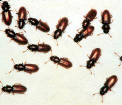 Grain-Beetles